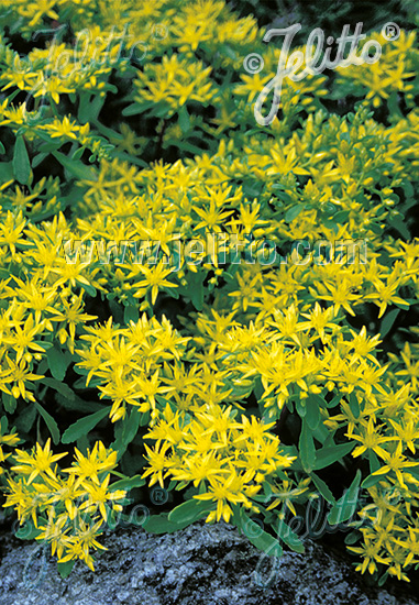 SEDUM hybridum  'Czar's Gold' Portion(s)