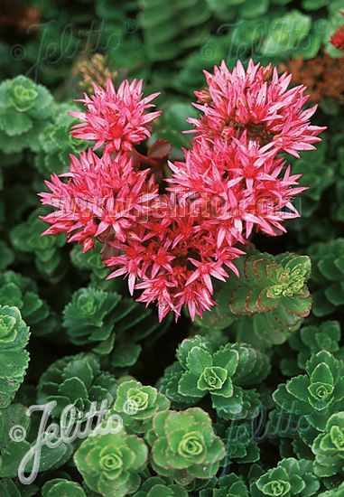 SEDUM spurium  'Summer Glory' Portion(en)