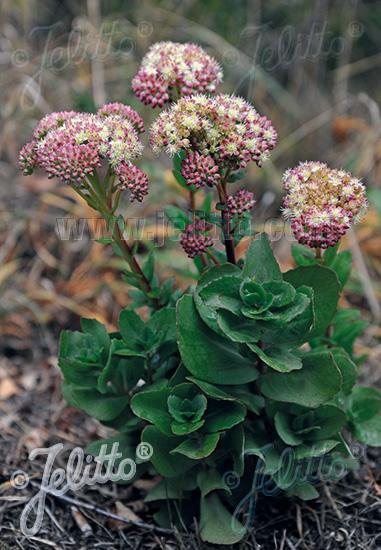 SEDUM telephium ssp. maximum   Portion(s)