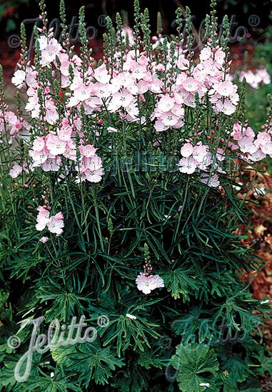 SIDALCEA Malviflora-Hybr.  'Rosaly' Portion(s)