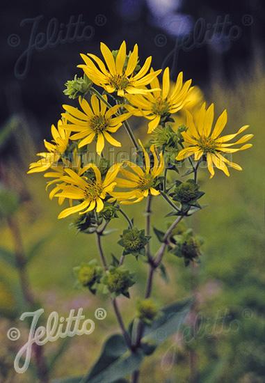 SILPHIUM integrifolium   Portion(en)