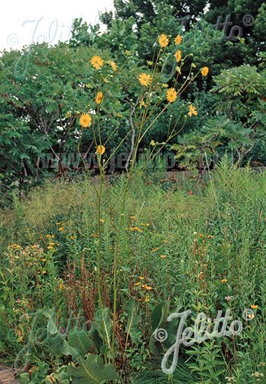SILPHIUM terebinthinaceum   Portion(s)
