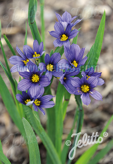 SISYRINCHIUM idahoense var. macounii  'Moody Blues' Portion(s)