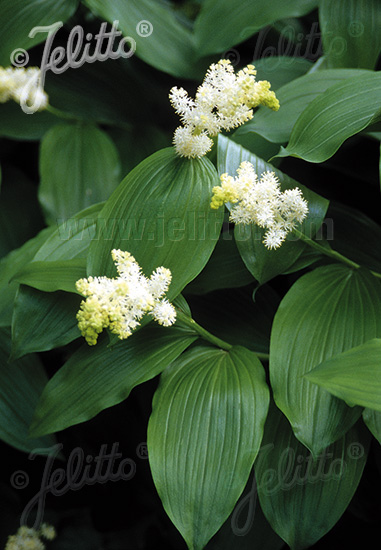 SMILACINA racemosa   Portion(s)