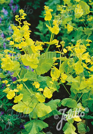 SMYRNIUM perfoliatum   Portion(s)