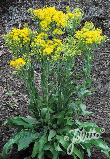 SOLIDAGO rigida ssp. humilis  'Golden Rockets' Portion(en)