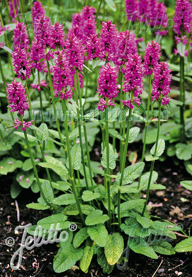 STACHYS officinalis   Portion(s)