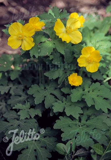 STYLOPHORUM diphyllum   Portion(s)