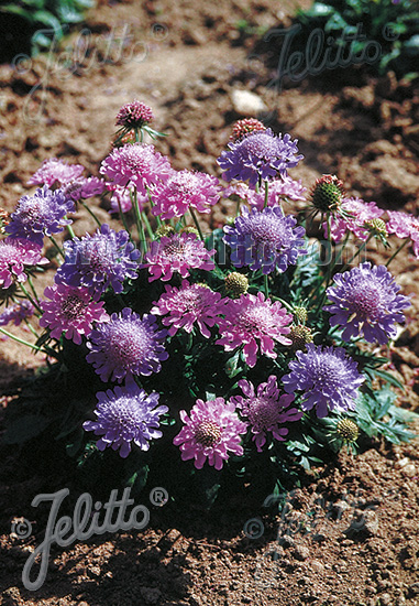 SCABIOSA columbaria  'Misty Butterflies' Portion(s)