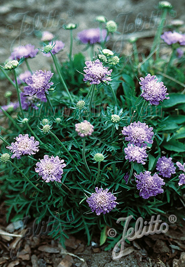 SCABIOSA columbaria f. nana   Portion(s)