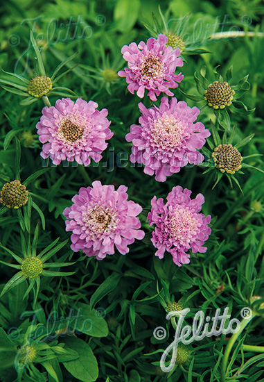 SCABIOSA japonica var. alpina  'Ritz Rose' Portion(s)
