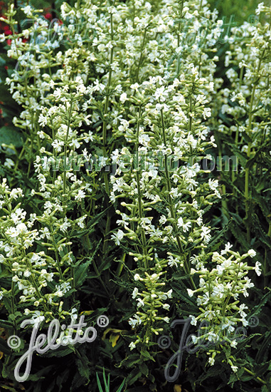 SILENE scouleri var. pauciflora   Portion(s)