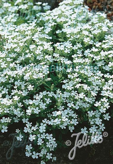 SAPONARIA ocymoides  'Snow Tip' Seeds