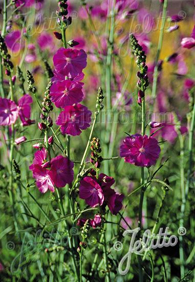 SIDALCEA Malviflora-Hybr.  'Partygirl' Seeds