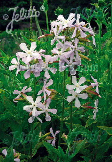 SAPONARIA officinalis   Portion(s)