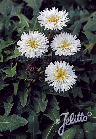 TARAXACUM albidum   Portion(s)