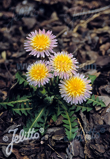 TARAXACUM pseudoroseum   Portion(en)