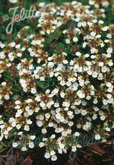 TEUCRIUM montanum   Portion(s)