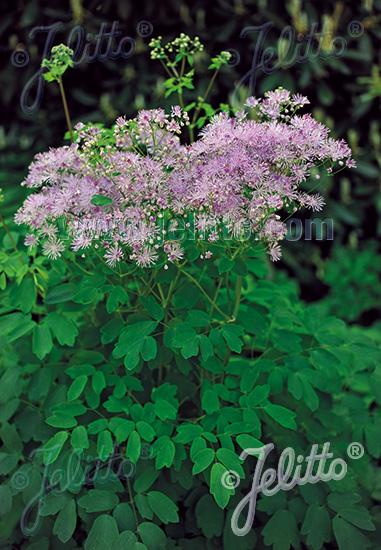 THALICTRUM aquilegiifolium  'Purpureum' Portion(s)