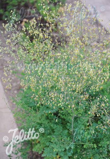 THALICTRUM minus ssp. minus   Portion(s)