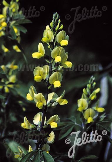 THERMOPSIS lanceolata hort.   Portion(s)