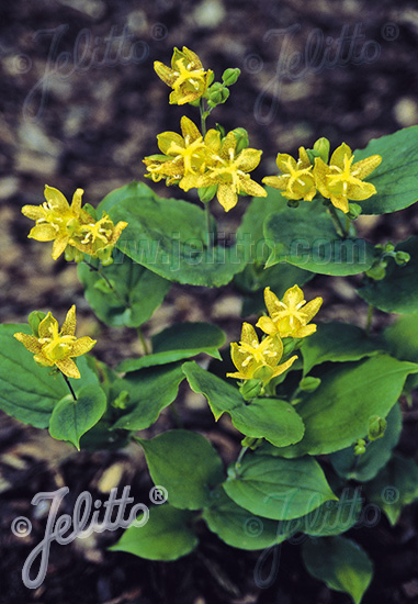 TRICYRTIS latifolia   Portion(s)