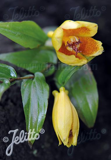 TRICYRTIS macrantha ssp. macranthopsis   Portion(en)