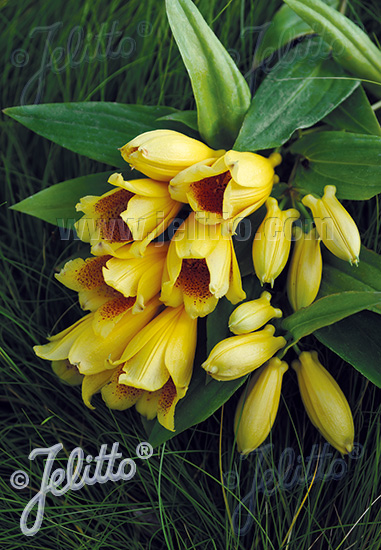 TRICYRTIS macrantha ssp. macranthopsis   Portion(s)
