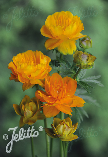 TROLLIUS chinensis  'Goldkönigin' Portion(en)