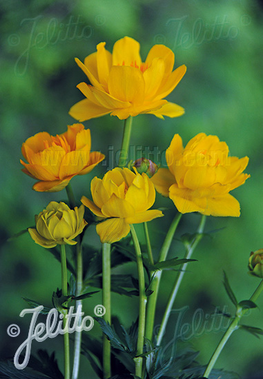 TROLLIUS chinensis  'Morning Sun' Seeds