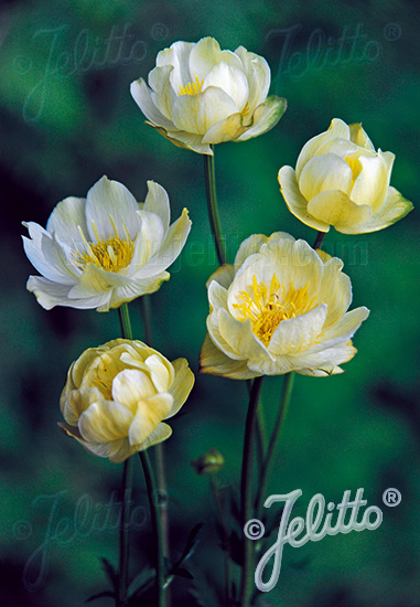 TROLLIUS x cultorum  'New Moon' Seeds