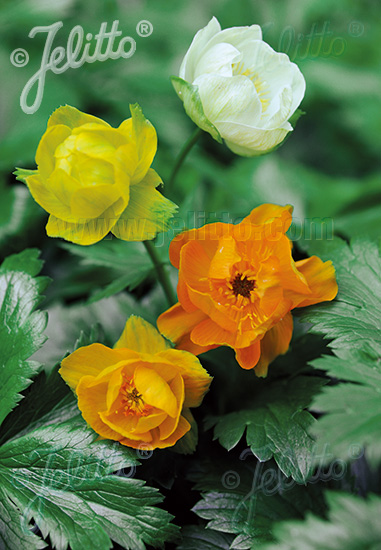 TROLLIUS x cultorum  'New Hybrids' Seeds