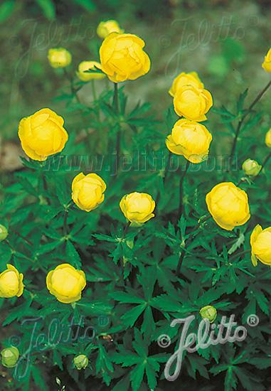 TROLLIUS europaeus   Seeds