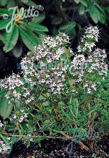THYMUS fragrantissimus   Portion(en)