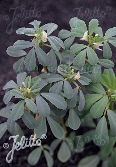 TRIGONELLA foenum-graecum   Portion(s)