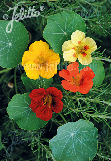 TROPAEOLUM majus  'Mix' Portion(s)