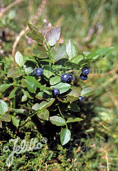VACCINIUM myrtillus   Portion(s)