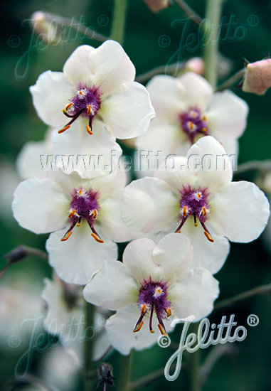 VERBASCUM blattaria f. albiflorum   Portion(s)