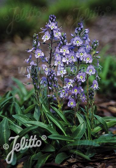 VERONICA gentianoides  'Little Blues' Portion(en)