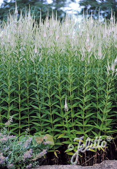VERONICASTRUM virginicum f. albiflorum   Portion(s)