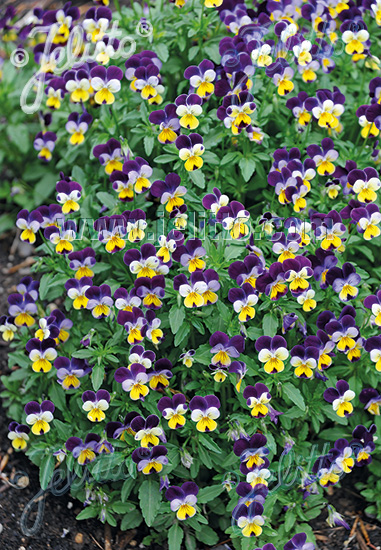 VIOLA cornuta  'Helen Mount' Portion(s)