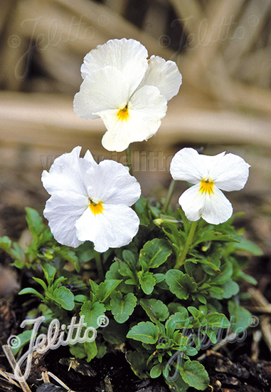 VIOLA cornuta  'White Perfection' Portion(s)
