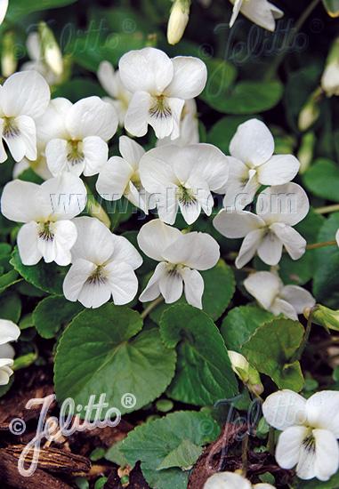 VIOLA sororia  'Albiflora' Portion(s)