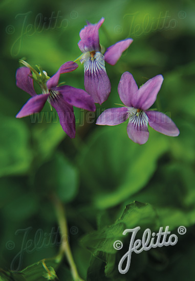 VIOLA rupestris  'Rosea' Portion(en)