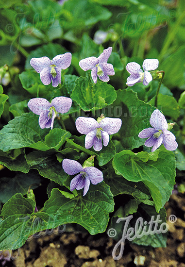 VIOLA sororia  'Dark Freckles' Portion(s)