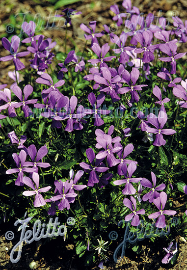 VIOLA cornuta  'Minor' Portion(en)