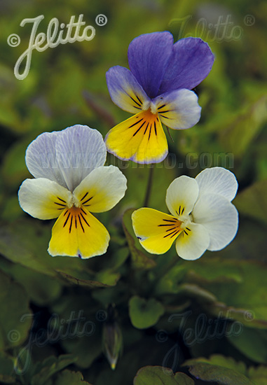 VIOLA tricolor   Portion(s)