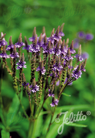 VERBENA hastata  'Blue Spires' Seeds