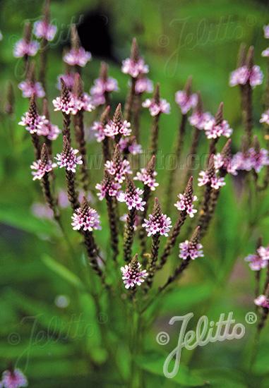 VERBENA hastata  'Pink Spires' Seeds
