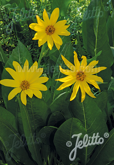 WYETHIA amplexicaule   Portion(s)